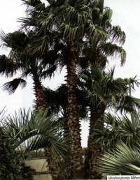 Washingtonia-filifera.jpg